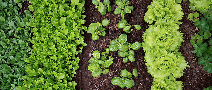 6 Vegetables To Plant Late Summer