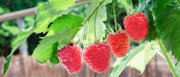 Growing fruit on your patio in containers by Albert Mondor