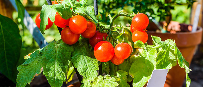 Mark Cullen Tips for Growing Tomatoes
